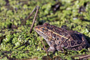 A northern leopard frog rests at the surface of water on aquatic vegetation.