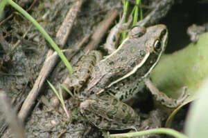 A plains leopard frog among muddy grasses and vegetation.
