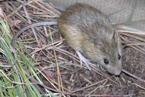 A Prebles meadow jumping mouse on dried grass and soil.