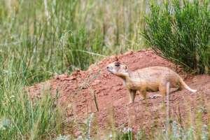 A Utah prairie dog