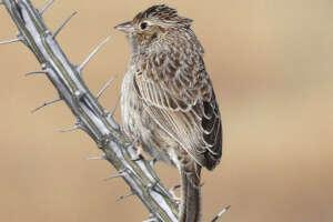 Cassins Sparrow
