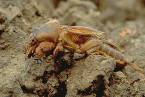 Prairie Mole Cricket