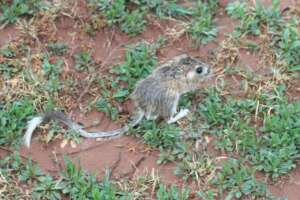 Texas kangaroo rat on the ground